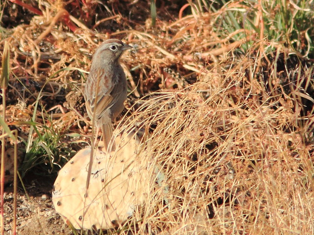 Rufous-crowned Sparrow 4-20111114