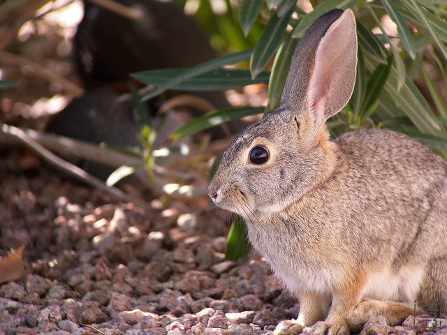 A Bunny looking at Gambel's Quail in bush, AZ, Nov 2011