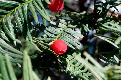 ichii(japanese yew)_berry