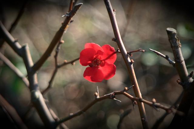 ボケの花 Japanese quince