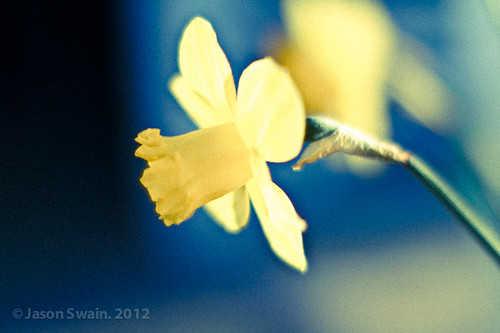 50mm of Spring - Daffodil