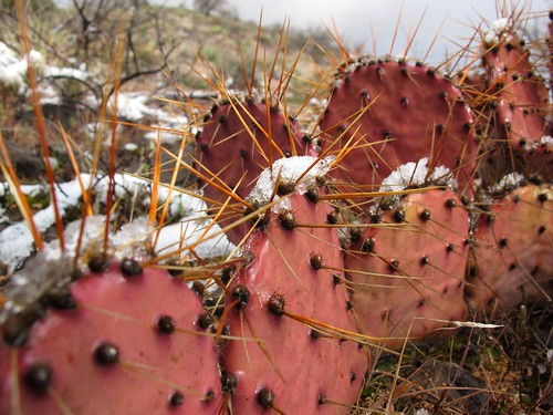 pink arizona cactus snow southwest detail macro nature weather closeup outdoors spring desert adventure pricklypear exploration discovery sunburnt snowcovered sevensprings pricklypearcactus tontonationalforest opuntiaengelmannii engelmannspricklypear zoniedude1 canonpowershotg11 earthnaturelife desertspring2012 equinoxsnowstorm pinksnowcactus