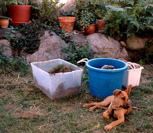 Rosie, a puppy, looking wistful, during the make over of a friends' back yard, reworking the rockery, and replanting the lawn, plastic buckets, planters and plants, bushes, rocks, Broadview, Seattle, Washington, USA by Wonderlane