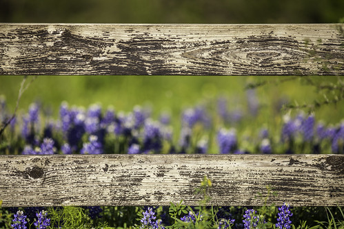 flowers blue nature fence photography march countryside photo wooden spring texas image nopeople fav20 photograph 100 wildflowers hillcountry f28 bluebonnets 2012 fineartphotography horizontallines 200mm chappellhill texashillcountry colorimage washingtoncounty commercialphotography fav10 editorialphotography ef200mmf28liiusm intimatelandscape houstonphotographer ¹⁄₃₂₀₀sec mabrycampbell march242012 201203246353