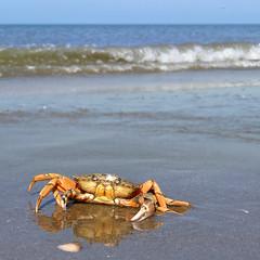 The Invasive European shore crab attacking my camera
