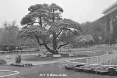 Belmont tree in the snow