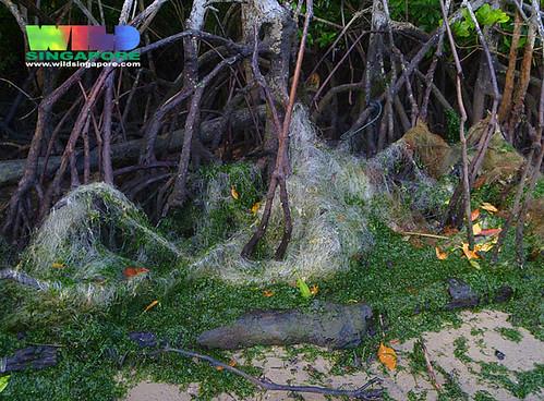 Abandoned driftnets in Pulau Ubin mangroves