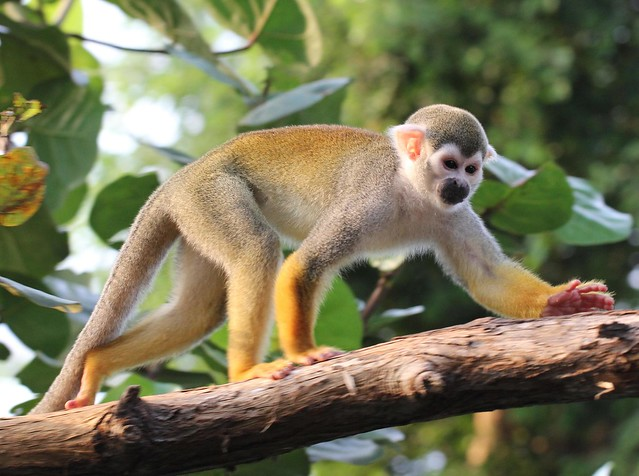 Squirrel monkey written essay