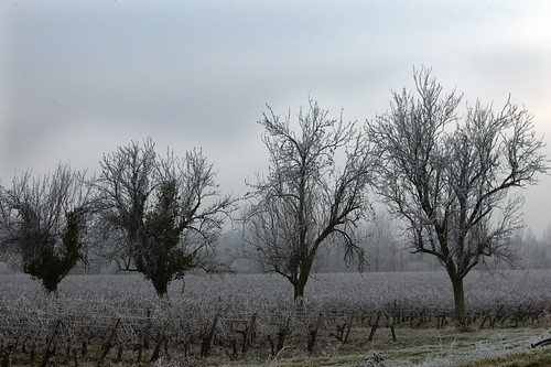 Bordeaux Vineyard in Winter