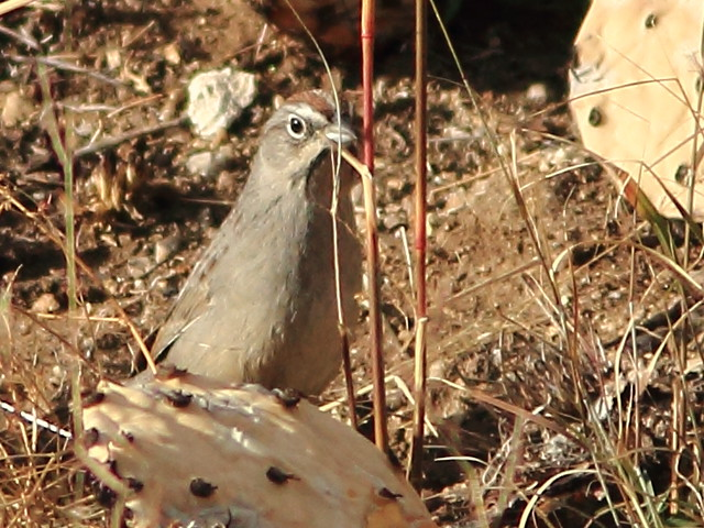 Rufous-crowned Sparrow 20111114