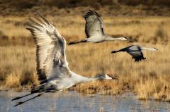 [フリー画像素材] 動物 2, 鶴・ツル, 鳥類 - 飛ぶ ID:201111221600