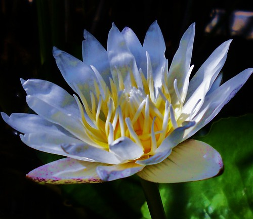 Waterlily 0294