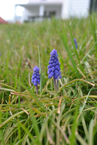 grape hyacinths by oyabakamama