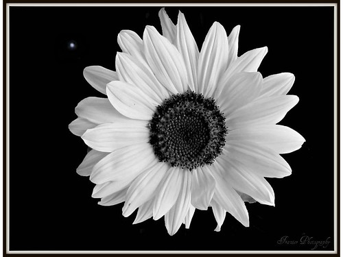 B/W Daisy by Enjoy the journey..not the Destination.Catching Up