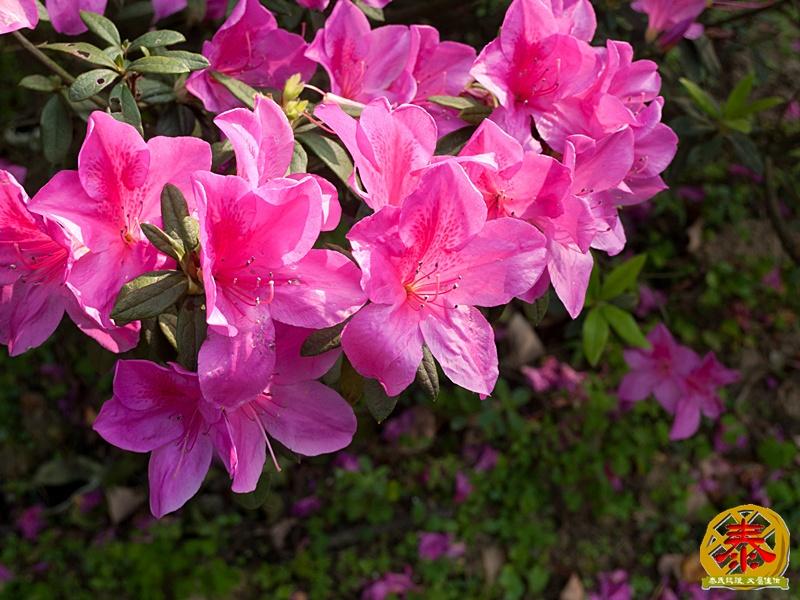 假掰的台大公園杜鵑花-2