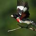 Rose Breasted Grosbeak Take-Off by Bill McMullen
