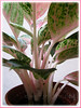 Aglaonema cv. Legacy (Thai Aglaonema, Aglaonema Thai Hybrid, Thai Chinese Evergreen)