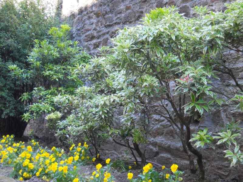 Pieris japonica 'Variegata' 5