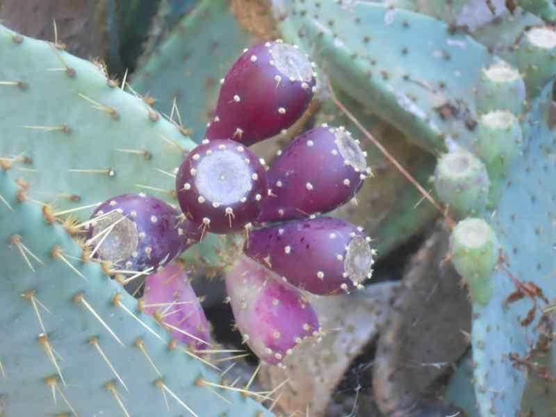 Opuntia engelmannii 'Linguiformis' 1