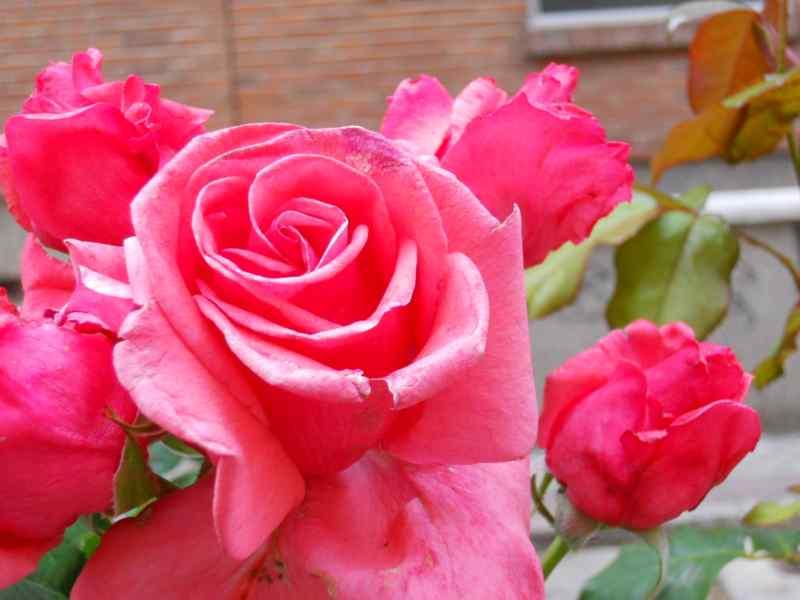 Rosa floribunda 'Kalinda' 2