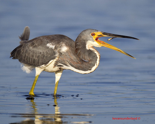 Tricolored Heron With Fish Marco Island