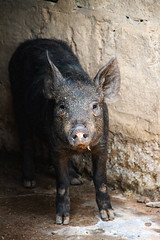 animal, peccary, domestic pig, pig, fauna, pig-like mammal, wildlife,