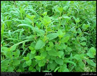 Blackdot, Psoralea corylifolia, Plant in Funuq, Tawi Atair, Mirbat, Dhofar