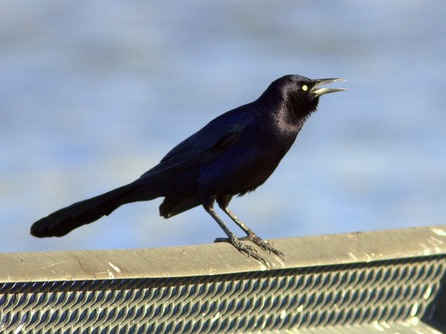 Great-tailed Grackle 20111110