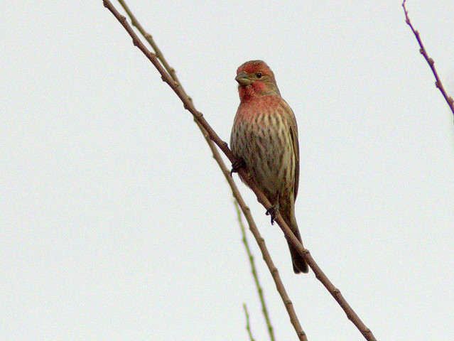 House Finch male 20111112