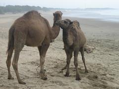 Camels in Rabat