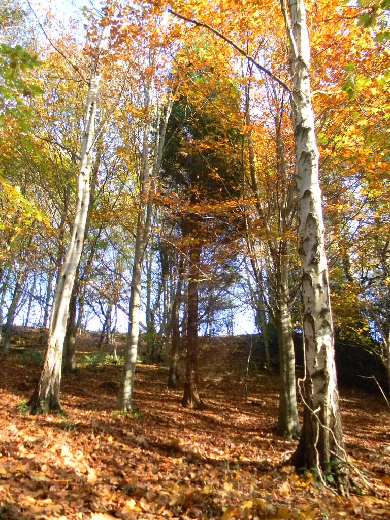 Autumn birches Cowden (short) Circular