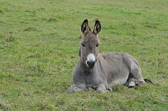 animal, donkey, mammal, grazing, fauna, pasture,