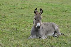 mane(0.0), mare(0.0), pack animal(0.0), horse(0.0), mustang horse(0.0), animal(1.0), donkey(1.0), mammal(1.0), grazing(1.0), fauna(1.0), pasture(1.0),