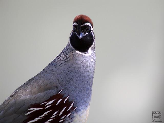Gambel's Quail male, AZ, Nov 2011