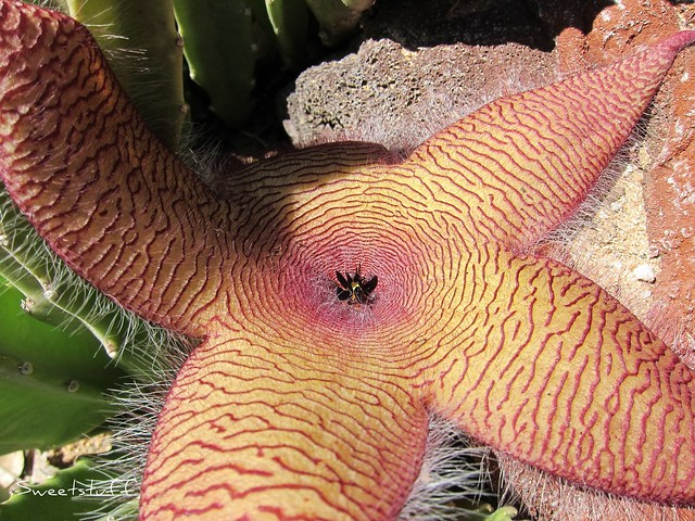 Stapelia grandiflora flower