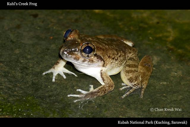 Kuhl's Creek Frog