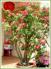 A gorgeous-looking large specimen of Adenium obesum 'Arrogant' - July 13 2011