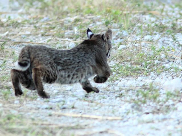 Smaller cub flees 20111125