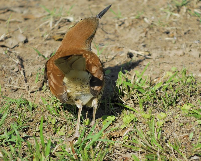 Mystery bird: Brown thrasher, Toxostoma rufum