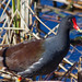 Common Gallinule - Photo (c) Gary Palmer, some rights reserved (CC BY-NC-SA)
