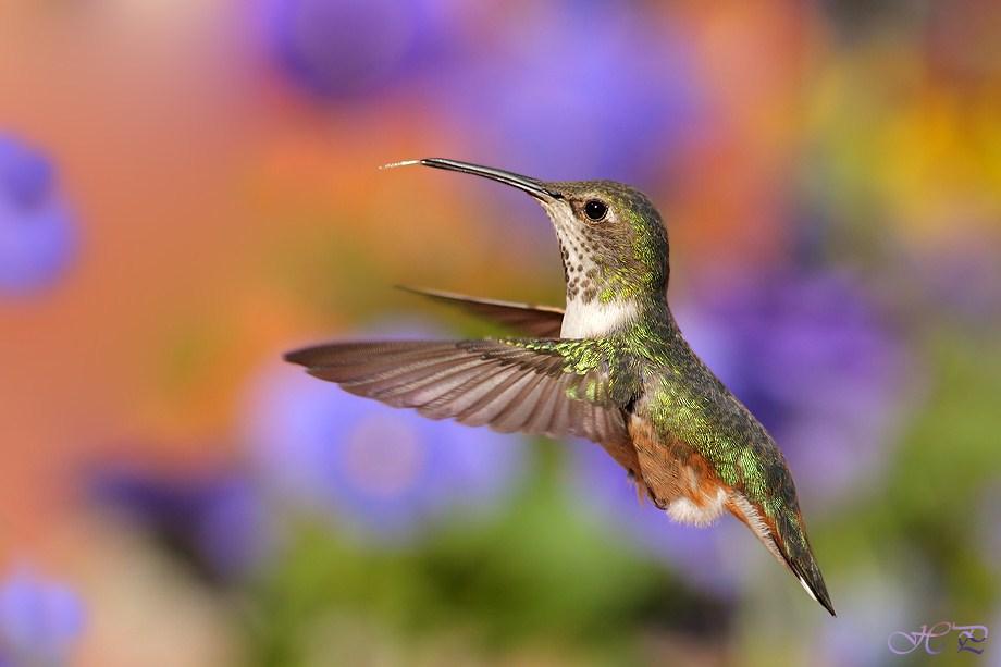 Allen's Hummingbird 032012-2