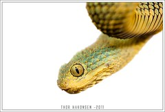Atheris