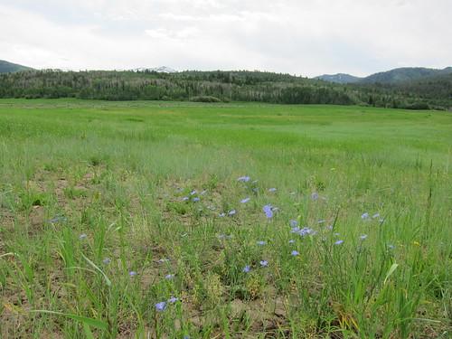 meadow, wildflower, wildflowers IMG_6835