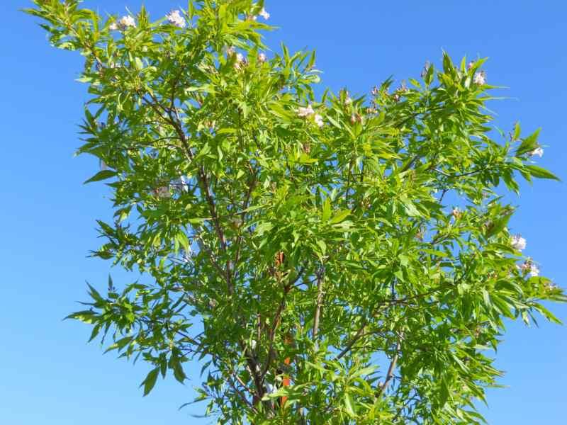 Chitalpa tashkentensis 'Summer Bells' 4