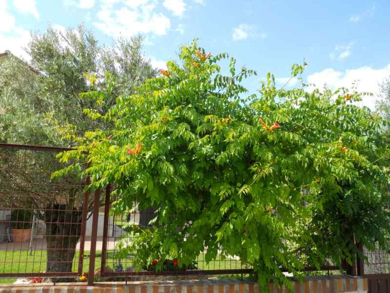 Bignonia grandiflora 3