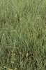 Habiturf (grasses native to SW)