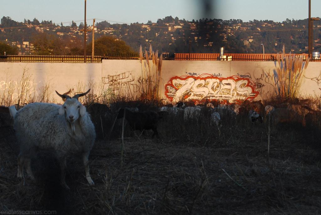 7seas goats.