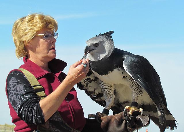 Harpy Eagle I