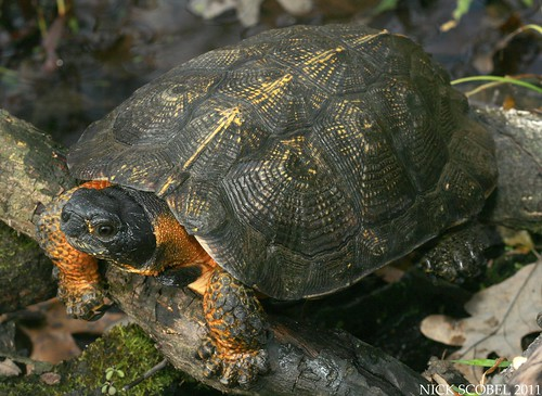 the herping michigan blog a tale of three turtles