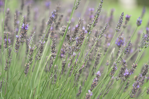 Lavender softness